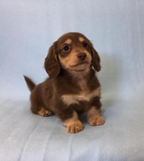 カニンヘンダックスフンド(ロング)の子犬(ID:1262011007)の3枚目の写真/更新日:2017-01-17