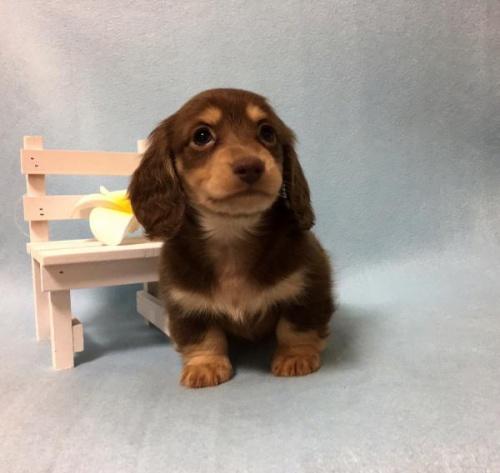 カニンヘンダックスフンド(ロング)の子犬(ID:1262011007)の4枚目の写真/更新日:2017-01-17