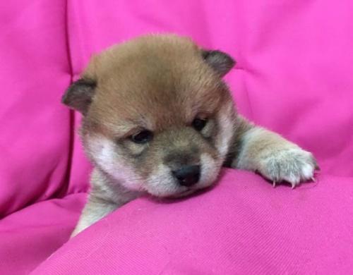 柴犬の子犬(ID:1262011008)の1枚目の写真/更新日:2017-04-01