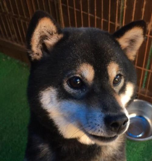 柴犬の子犬(ID:1262011008)の4枚目の写真/更新日:2017-04-01
