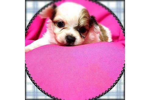 ミックスの子犬(ID:1262011010)の2枚目の写真/更新日:2017-09-25