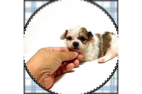 ミックスの子犬(ID:1262011010)の3枚目の写真/更新日:2017-09-25