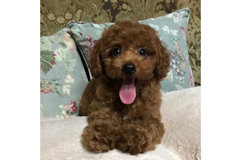 トイプードルの子犬(ID:1262011011)の1枚目の写真/更新日:2017-09-25