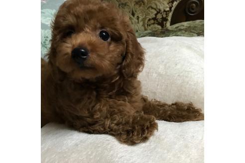 トイプードルの子犬(ID:1262011011)の2枚目の写真/更新日:2017-09-25