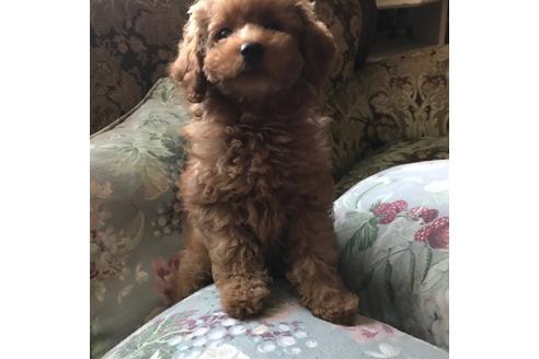 カニンヘンダックスフンド(ロング)の子犬(ID:1262011012)の1枚目の写真/更新日:2017-09-25