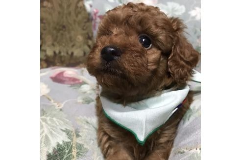 カニンヘンダックスフンド(ロング)の子犬(ID:1262011012)の3枚目の写真/更新日:2017-09-25