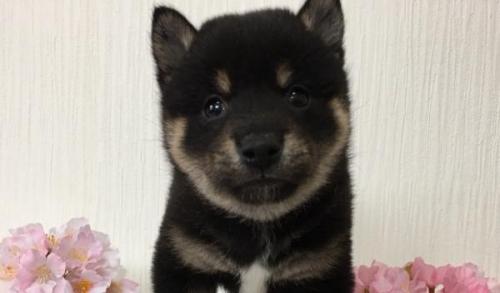 柴犬の子犬(ID:1262011013)の1枚目の写真/更新日:2018-01-09