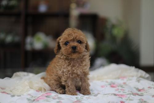 トイプードルの子犬(ID:1262211010)の2枚目の写真/更新日:2018-11-22