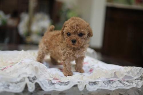 トイプードルの子犬(ID:1262211010)の3枚目の写真/更新日:2018-11-22