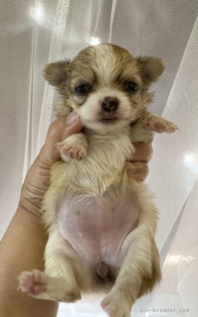 チワワ(ロング)の子犬(ID:1262311001)の4枚目の写真/更新日:2018-07-19