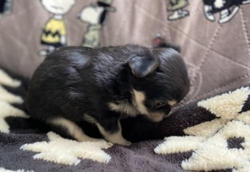 ミニチュアダックスフンド(ロング)の子犬(ID:1262311002)の3枚目の写真/更新日:2018-08-19