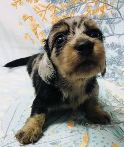 ミニチュアダックスフンド(ロング)の子犬(ID:1262311004)の1枚目の写真/更新日:2018-09-19