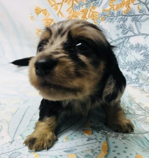 ミニチュアダックスフンド(ロング)の子犬(ID:1262311004)の2枚目の写真/更新日:2018-09-19