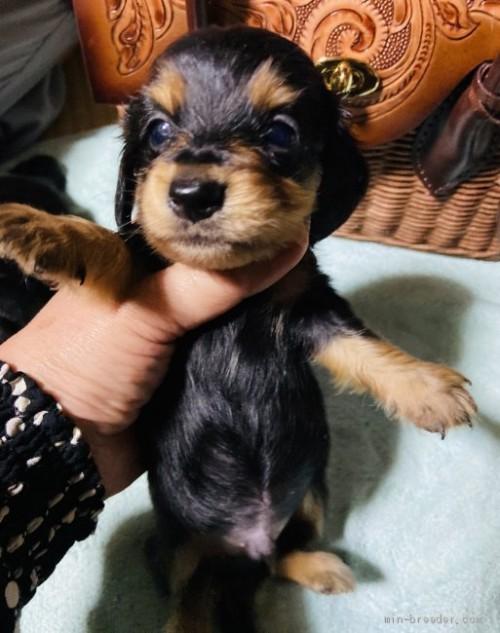 ミニチュアダックスフンド(ロング)の子犬(ID:1262311009)の2枚目の写真/更新日:2020-09-10
