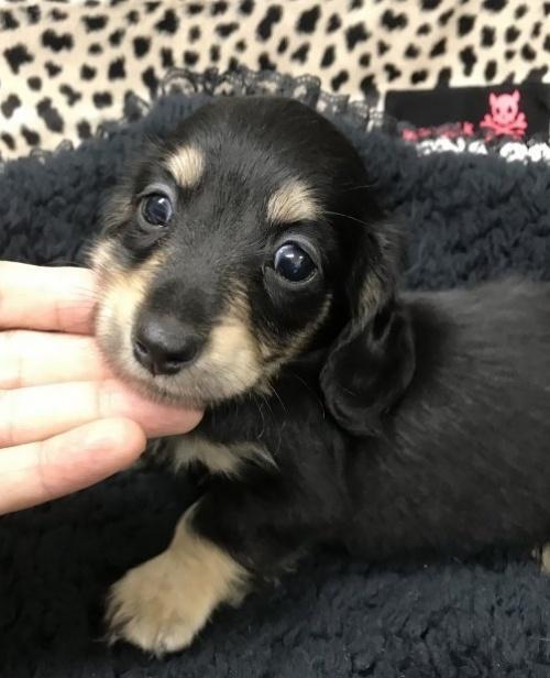 ミニチュアダックスフンド(ロング)の子犬(ID:1262311010)の1枚目の写真/更新日:2018-11-12