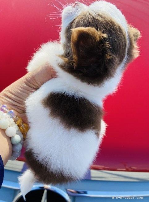 チワワ(ロング)の子犬(ID:1262311012)の2枚目の写真/更新日:2019-02-04