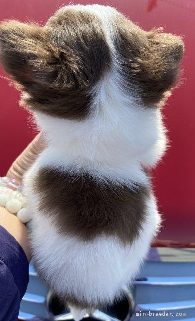 チワワ(ロング)の子犬(ID:1262311012)の3枚目の写真/更新日:2019-02-04