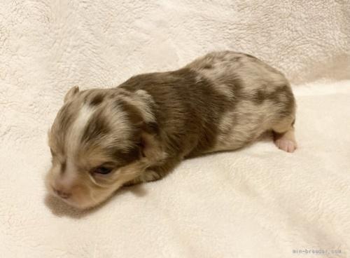 チワワ(ロング)の子犬(ID:1262311013)の2枚目の写真/更新日:2021-09-28