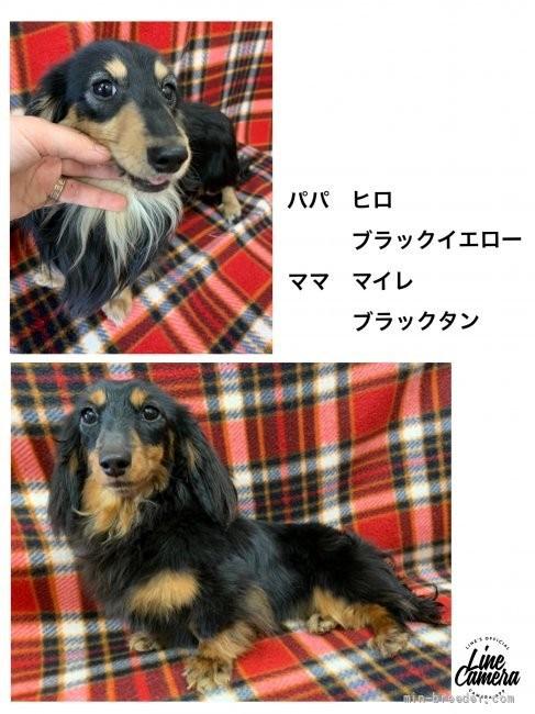 カニンヘンダックスフンド(ロング)の子犬(ID:1262311030)の4枚目の写真/更新日:2021-09-28