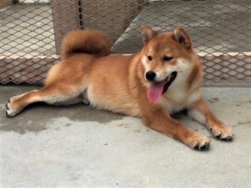 柴犬の子犬(ID:1262511241)の2枚目の写真/更新日:2017-03-29