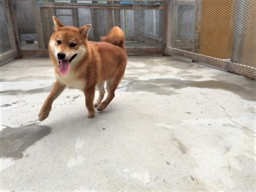 柴犬の子犬(ID:1262511241)の3枚目の写真/更新日:2017-06-16
