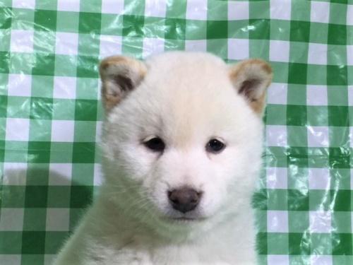 柴犬の子犬(ID:1262511248)の1枚目の写真/更新日:2017-02-06