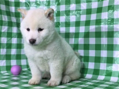 柴犬の子犬(ID:1262511248)の2枚目の写真/更新日:2017-02-06