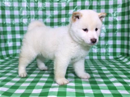 柴犬の子犬(ID:1262511248)の3枚目の写真/更新日:2017-02-06