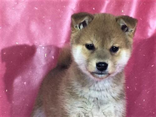 柴犬の子犬(ID:1262511250)の1枚目の写真/更新日:2017-02-27