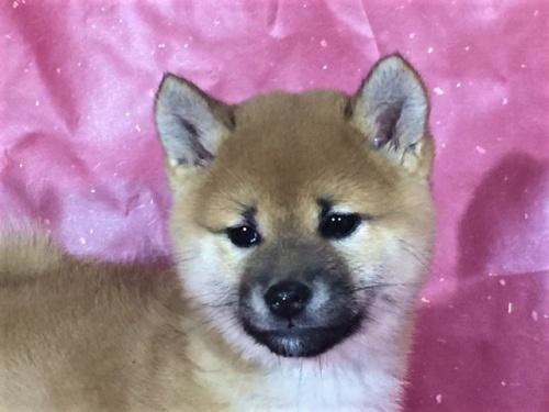 柴犬の子犬(ID:1262511253)の1枚目の写真/更新日:2017-03-13
