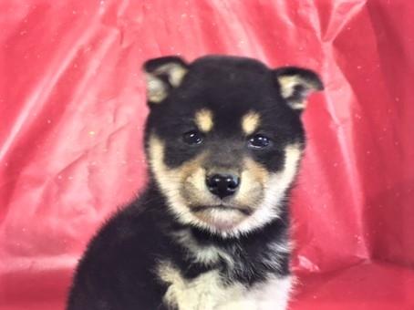 柴犬の子犬(ID:1262511254)の1枚目の写真/更新日:2017-02-10
