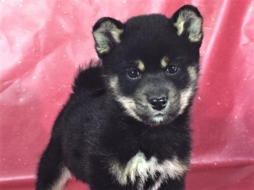 柴犬の子犬(ID:1262511255)の1枚目の写真/更新日:2017-02-23
