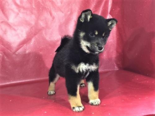 柴犬の子犬(ID:1262511255)の2枚目の写真/更新日:2017-02-23