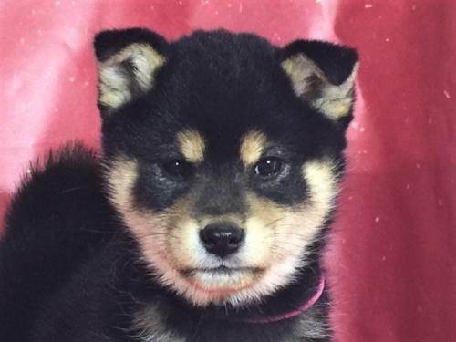 柴犬の子犬(ID:1262511256)の1枚目の写真/更新日:2017-02-21