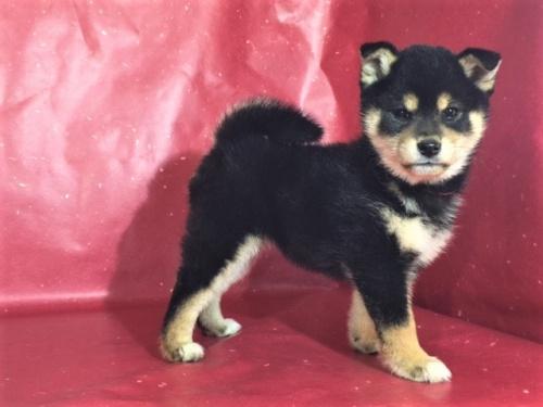 柴犬の子犬(ID:1262511256)の2枚目の写真/更新日:2017-02-21