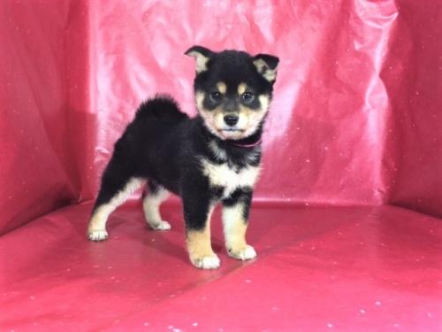 柴犬の子犬(ID:1262511256)の3枚目の写真/更新日:2017-02-21