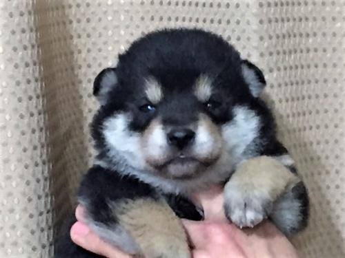 柴犬の子犬(ID:1262511257)の1枚目の写真/更新日:2017-01-22
