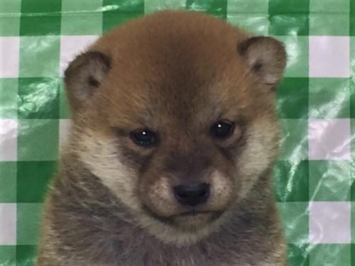 柴犬の子犬(ID:1262511262)の1枚目の写真/更新日:2017-01-31