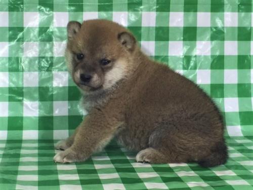柴犬の子犬(ID:1262511262)の3枚目の写真/更新日:2017-01-31