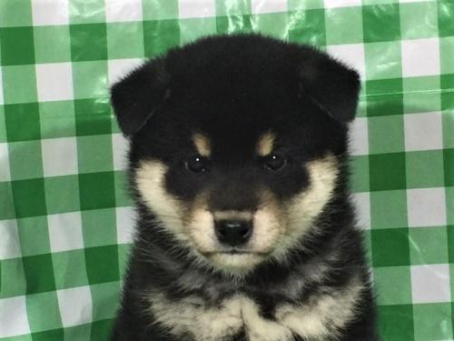 柴犬の子犬(ID:1262511264)の1枚目の写真/更新日:2017-02-02