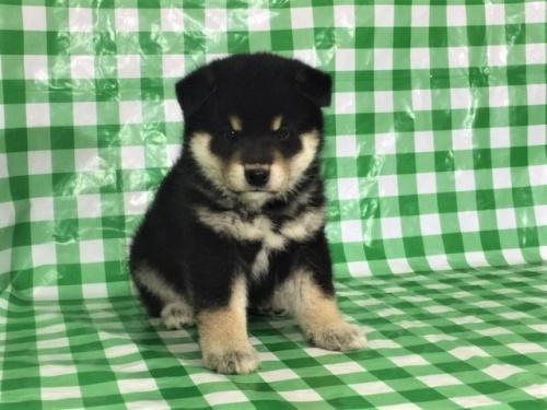柴犬の子犬(ID:1262511264)の2枚目の写真/更新日:2017-02-02