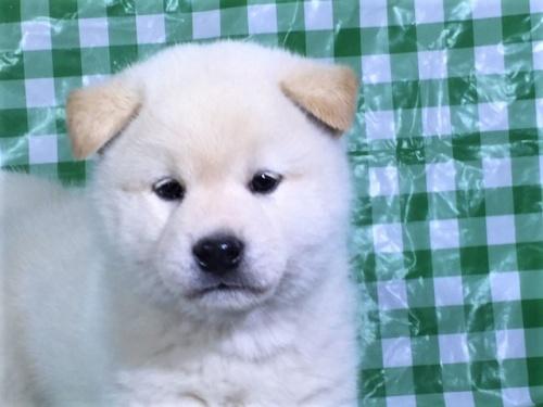 柴犬の子犬(ID:1262511265)の1枚目の写真/更新日:2017-02-02