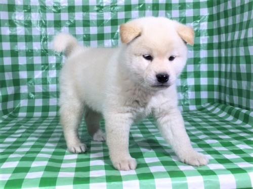 柴犬の子犬(ID:1262511265)の2枚目の写真/更新日:2017-02-02