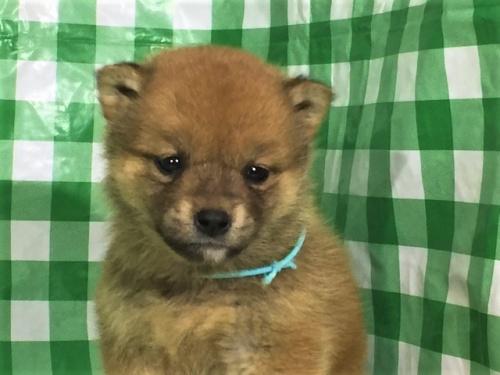 柴犬の子犬(ID:1262511266)の1枚目の写真/更新日:2017-02-09