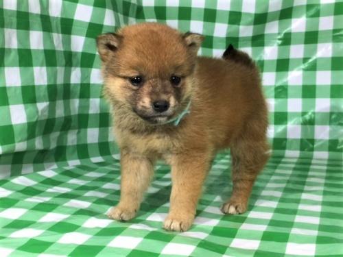 柴犬の子犬(ID:1262511266)の3枚目の写真/更新日:2017-02-09