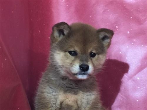 柴犬の子犬(ID:1262511267)の1枚目の写真/更新日:2017-02-27