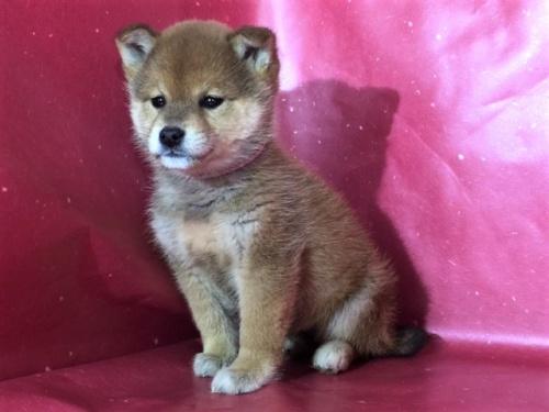 柴犬の子犬(ID:1262511267)の2枚目の写真/更新日:2017-02-27