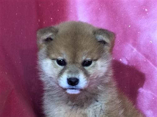 柴犬の子犬(ID:1262511268)の1枚目の写真/更新日:2017-02-27