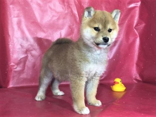 柴犬の子犬(ID:1262511269)の2枚目の写真/更新日:2017-03-10