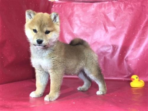 柴犬の子犬(ID:1262511269)の3枚目の写真/更新日:2017-03-10